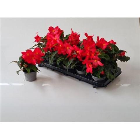 Begonia Florencio Ceris 1 ks