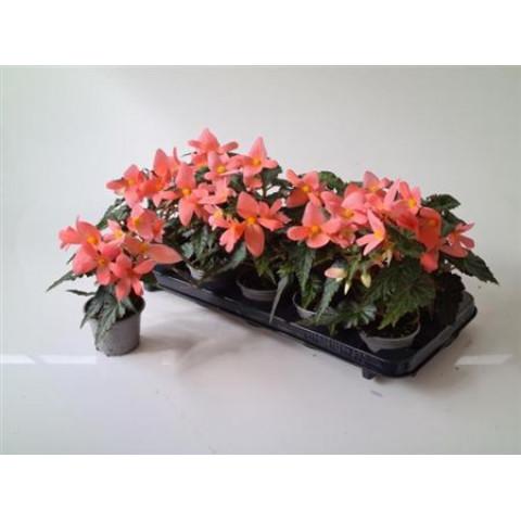 Begonia Florencio Pink 1 ks