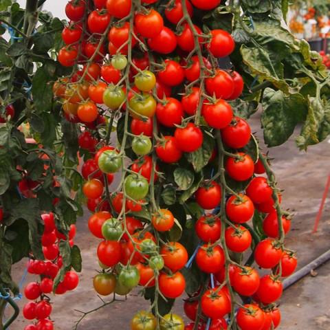 Sadba Rajče cherry červené kulaté tyčkové  Charmant 1 ks