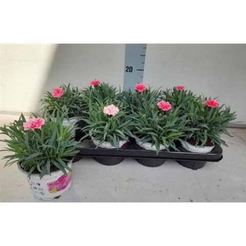 Hvozdík Dianthus I Love U 1 ks