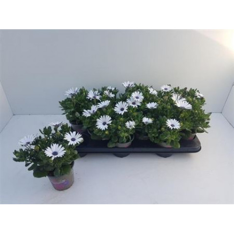 Paprskovka Osteospermum kapská kopretina bílá 1 ks