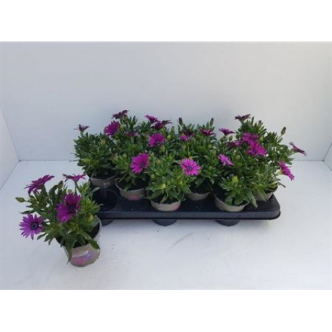 Paprskovka Osteospermum kapská kopretina fialová 1 ks