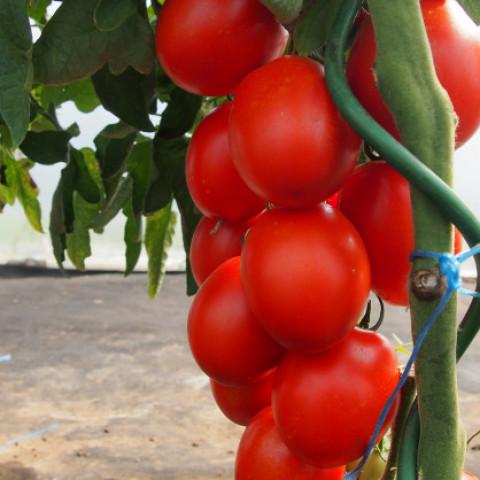 Sadba rajče oválné tyčkové Sonet 1 ks