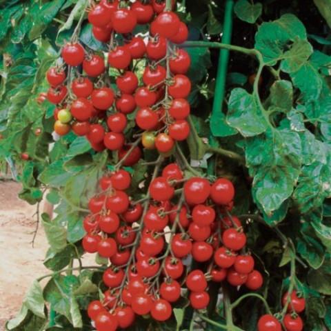 Sadba Rajče cherry červené kulaté tyčkové Cherrola 1 ks