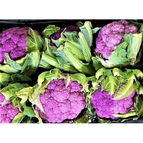 Květák fialový Itálie PQ ks